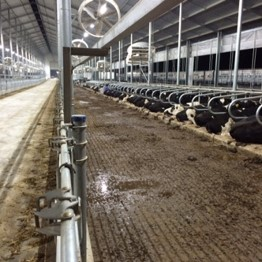 Cows lying in cubicles