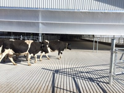 Cows walking into parlour